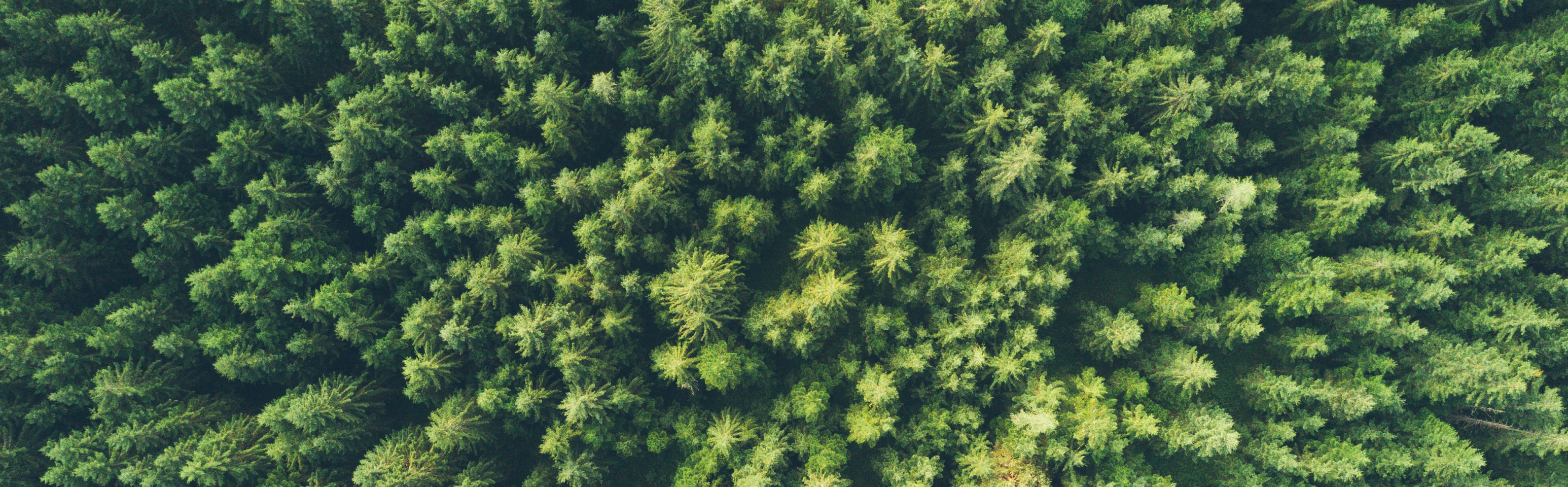 Arial view of a pine forest